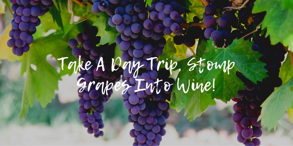 Have you ever wanted to stomp grapes into wine? Take a day trip to Fredricksburg and and help turn grapes into wine at Messina Hof's Harvest Festival. This is San Antonio living at its finest! You can actually stomp on the grapes, taste from the barrel, and learn about the winemaking process.